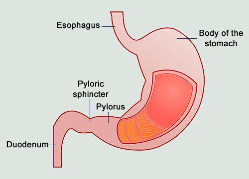 pyloric sphincter